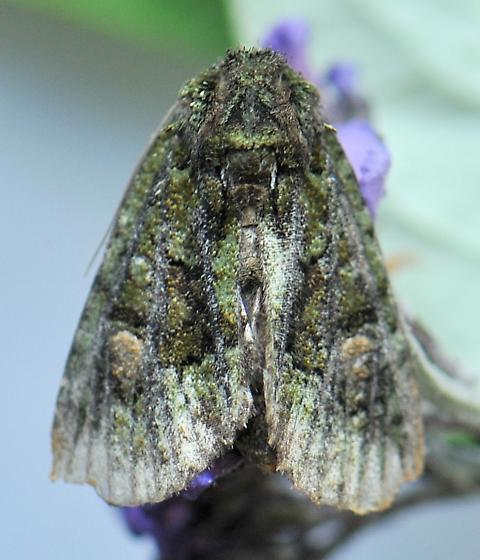 Spotted Phosphila Moth - Phosphila miselioides