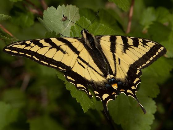 Swallowtail - Papilio rutulus - male