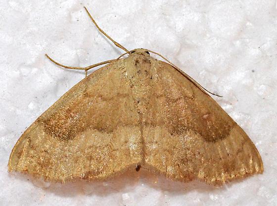 moth - Semaeopus