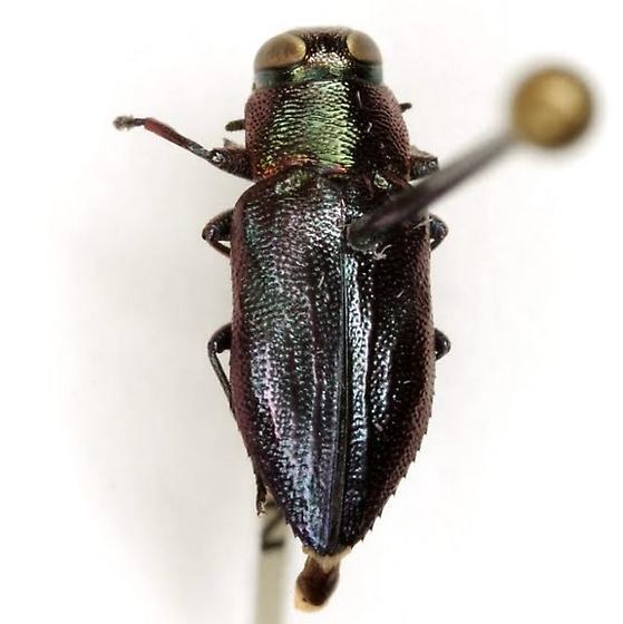 Chrysobothris analis LeConte - Chrysobothris analis