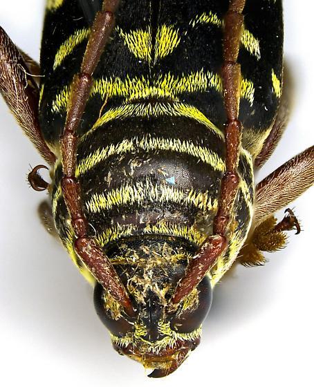 Placosternus difficilis