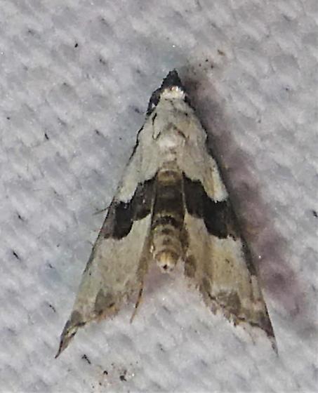 8440   Thin-winged Owlet Moth   (Nigetia formosalis) - Nigetia formosalis