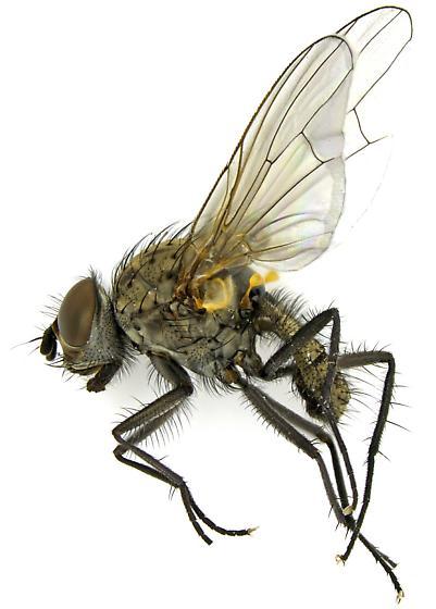 Anthomyiidae? - Delia - male