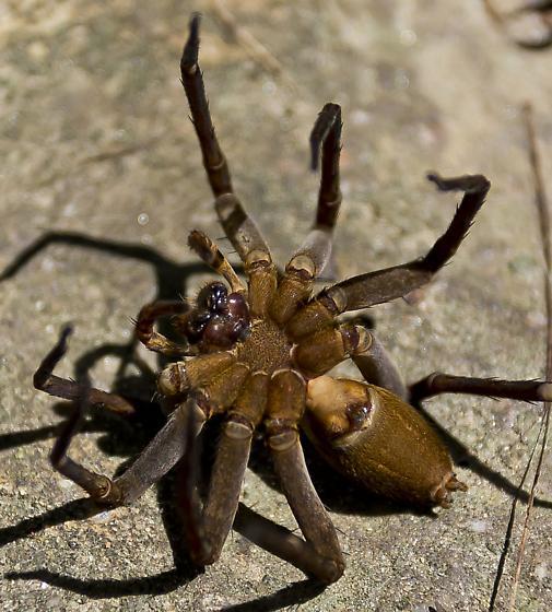 Large Spider - Dolomedes vittatus