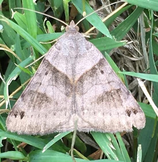 Daytime grass moth - Caenurgina crassiuscula