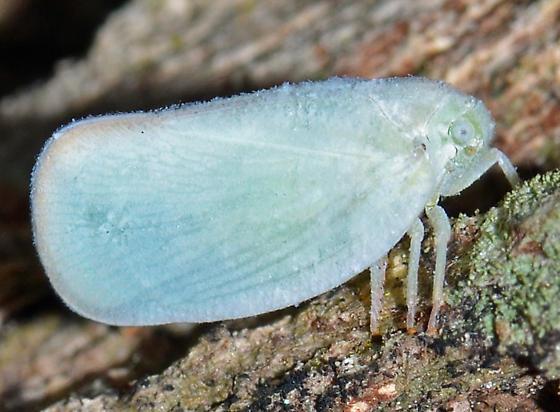 Planthopper? - Ormenoides venusta