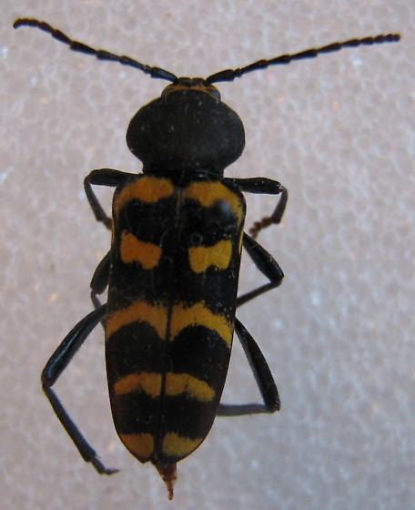 Calloides nobilis subspecies mormonus - Calloides nobilis