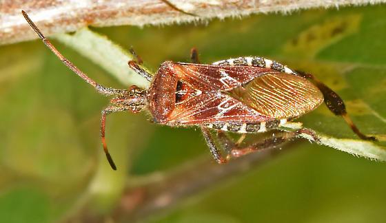 Nematopini Leaf-footed Bug? - Leptoglossus occidentalis