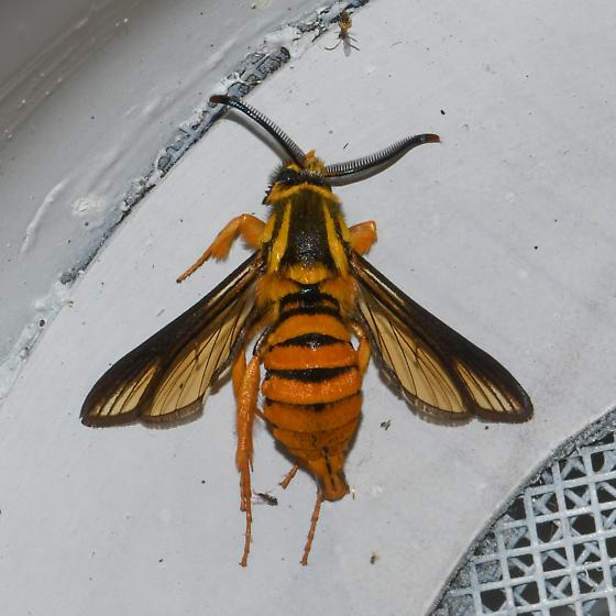 Paranthrene simulans, Hornet Clearwing, for Louisiana - Paranthrene simulans