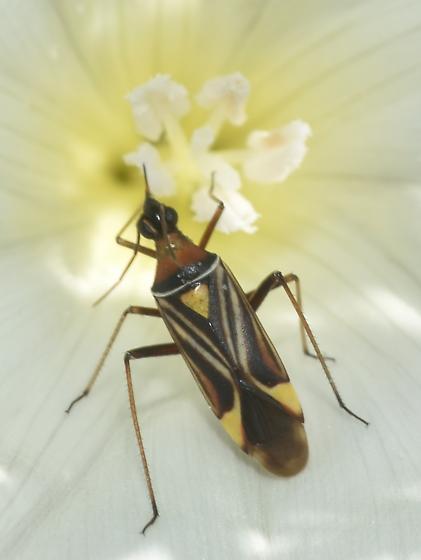 Plant bug - Closterocoris amoenus