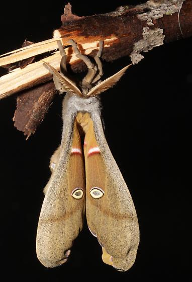 Polyphemus, fresh adult  - Antheraea polyphemus - male