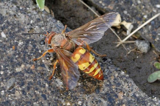 Cicada Killer (Sphecius Grandis) - Sphecius grandis
