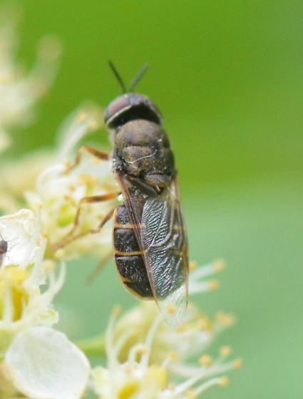 Odontomyia sp. ? - Odontomyia - female