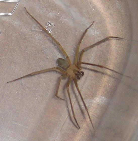 AZ or desert brown spider - Loxosceles arizonica - male