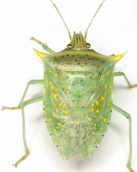 Arvelius albopunctatus (DeGeer) - Arvelius albopunctatus