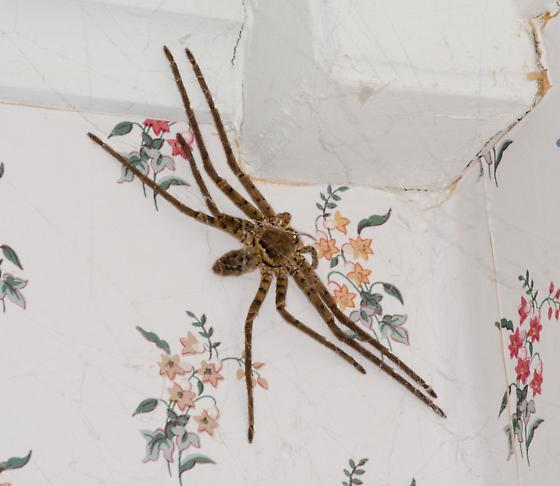 Extremely large spider (5