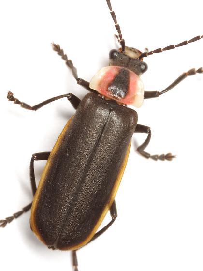 Discodon flavomarginatum Schaeffer - Discodon flavomarginatum