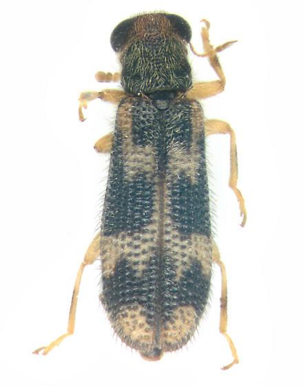 Cleridae, dorsal - Madoniella dislocata