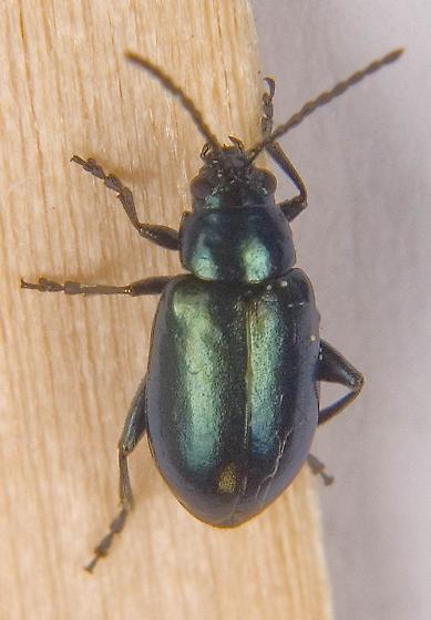 Grape Flea Beetle - Altica chalybea? - Altica