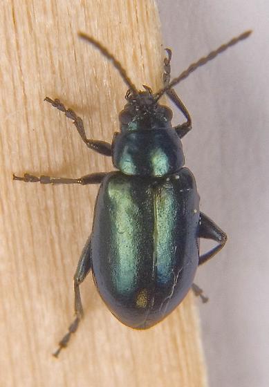 Grape Flea Beetle - Altica chalybea? - Altica