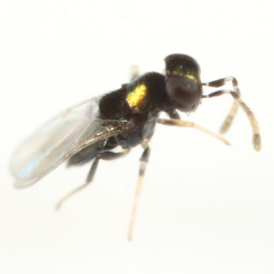 Encyrtid reared from Phyllonorycter on Quercus alba - Ageniaspis