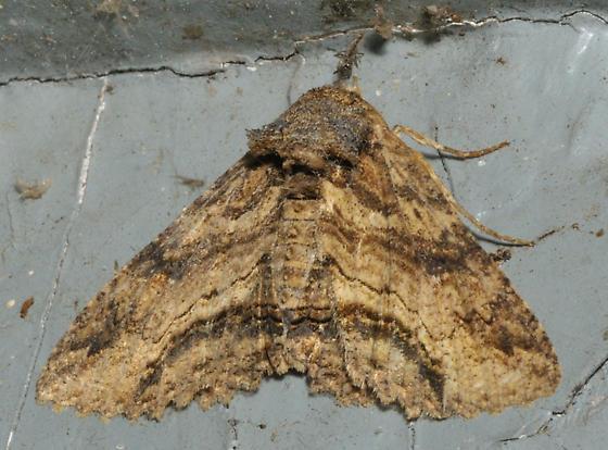 Frowning moth - Zale lunata