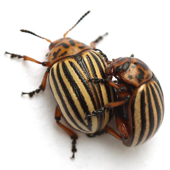Leptinotarsa decemlineata - male - female