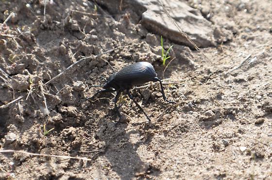 Eleodes obscurus - Eleodes obscura