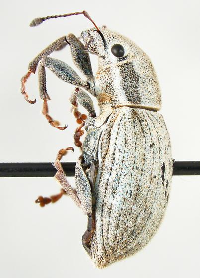 Entiminae - Naupactus tesselatus