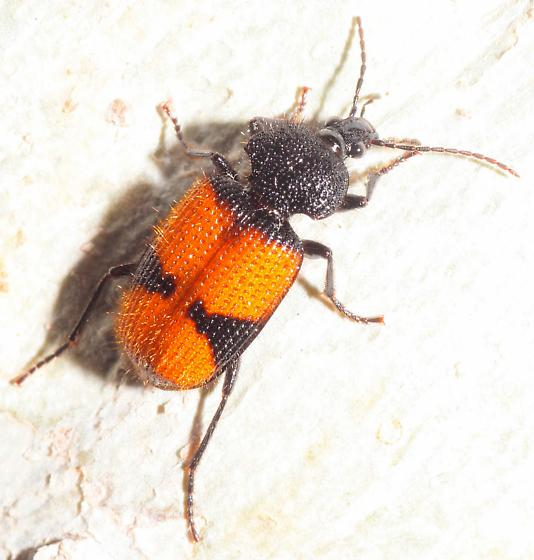 Hairy Ground Beetle - Panagaeus sallei