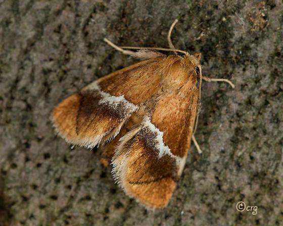 yellow shouldered slug - Lithacodes fasciola