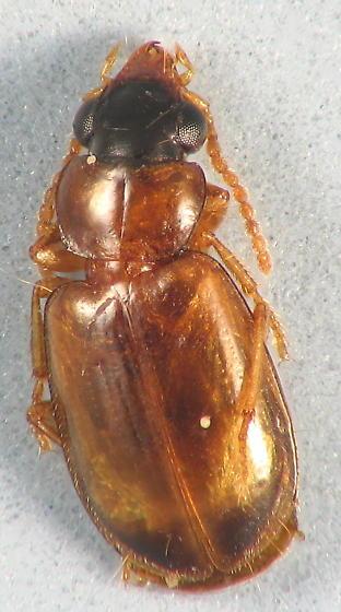 little carabid - Perigona nigriceps