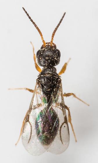 Wasp - Dissomphalus