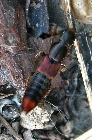 Rove beetle, subtribe Philonthina? - Platydracus