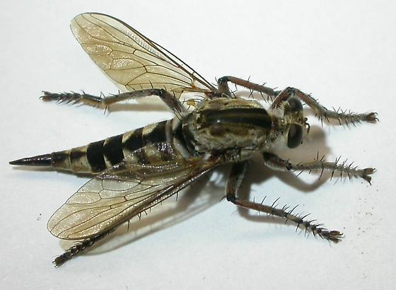 Robber fly - Triorla interrupta - female