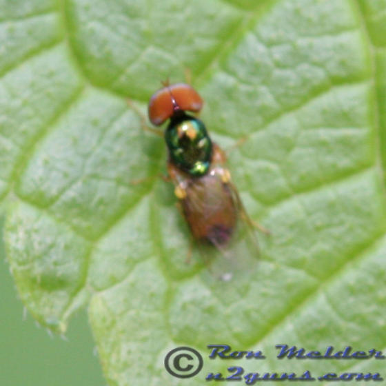 Soldier Fly - Microchrysa flaviventris - male