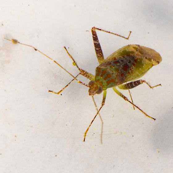 Phytocoris tibialis? - Phytocoris