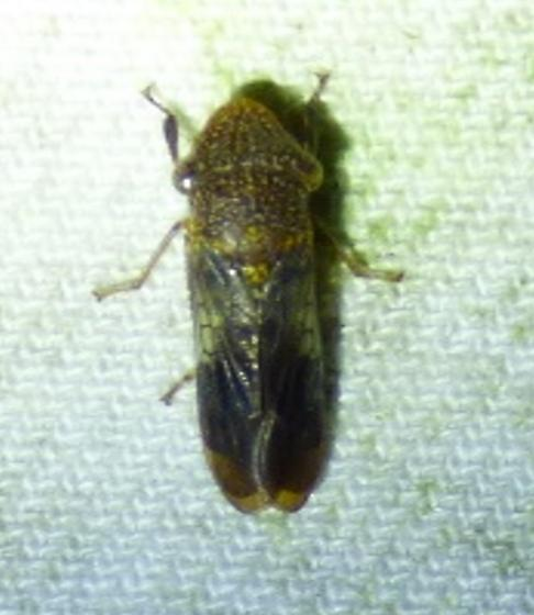 unknown insect - Homalodisca vitripennis