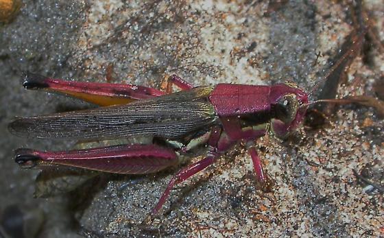 Atlantic grasshopper