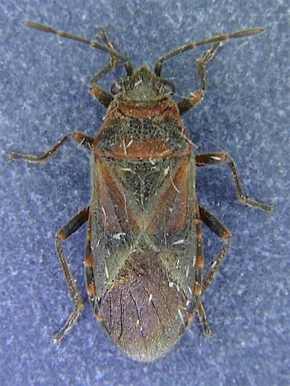 Elm Seed Bug - Arocatus melanocephalus