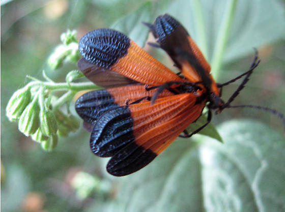 unknown orange and black bugs calopteron terminale bugguide net. Black Bedroom Furniture Sets. Home Design Ideas