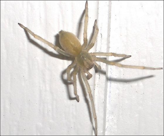 Yellow Sac Spider? - Cheiracanthium