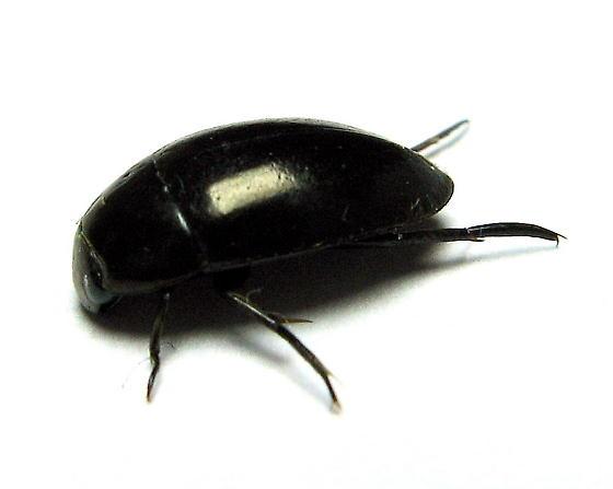 Water Scavenger Beetle - Tropisternus natator