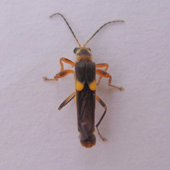 Odd elytra - Trypherus latipennis