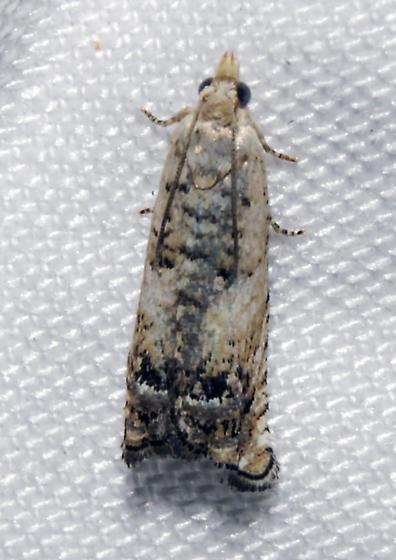 possible Eucosma ornatula - Eucosma ornatula