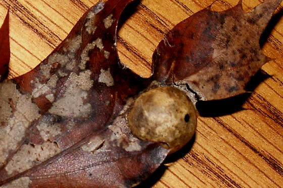 Small Oak Apple Gall - Amphibolips quercusostensackenii
