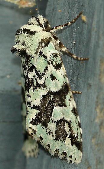 moth - Feralia comstocki
