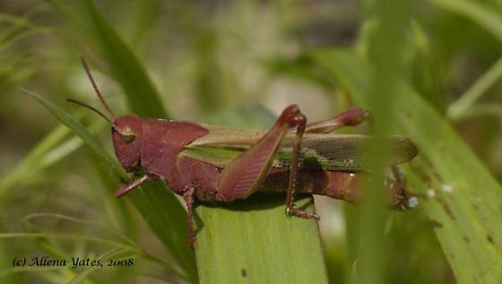 Beautiful grasshopper  - Chortophaga viridifasciata - female