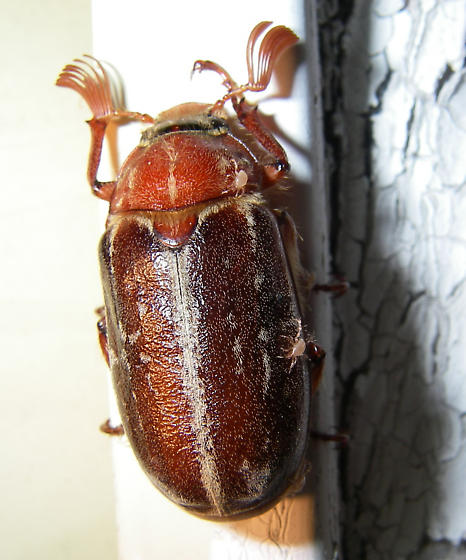 Variegated June Beetle? with Mites? 1 of 3 - Polyphylla variolosa - male