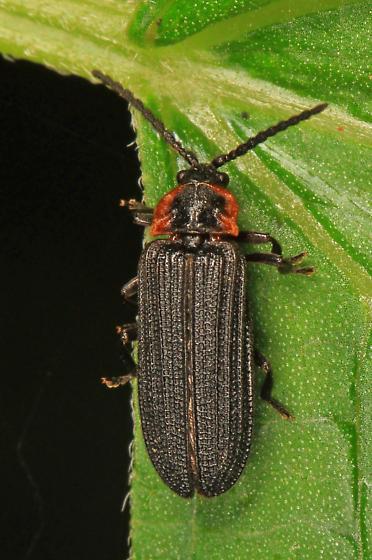 Net-winged Beetle? - Eropterus trilineatus